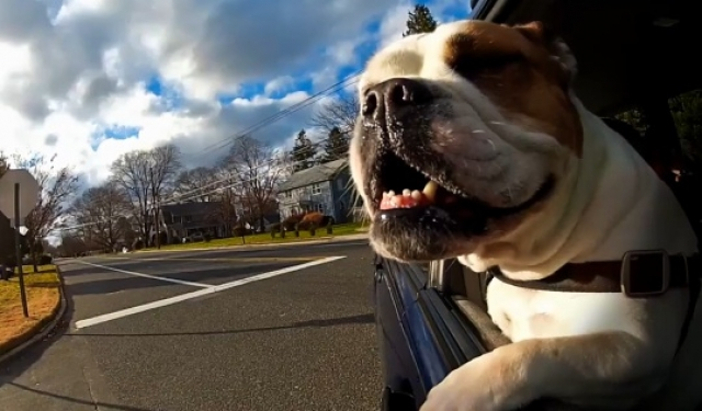 Dogs ride in cars in New Jersey