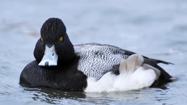 man rapes duck