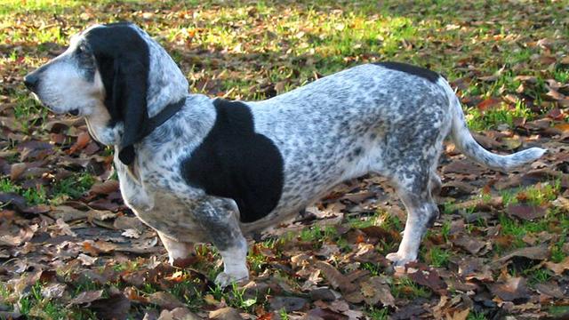 "Blue Gascony basset hound - the ""lone gunman"""