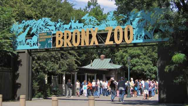 bronx zoo tiger eats man's foot