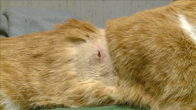 cat shot with arrow shave