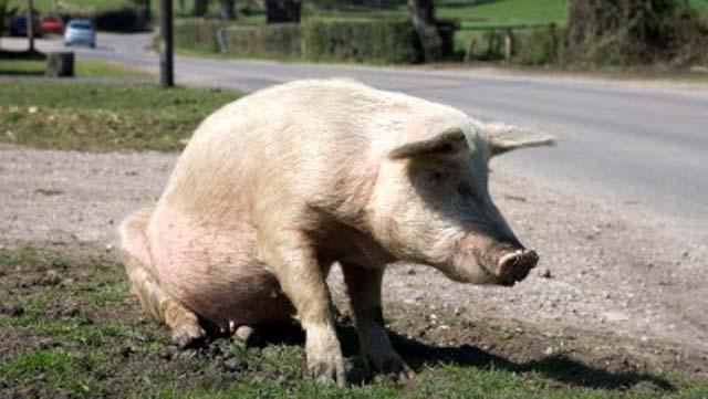 70 year old farmer eaten by hogs