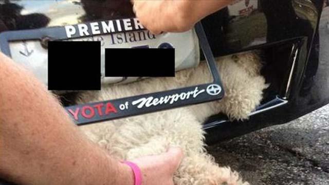 poodle survives car accident