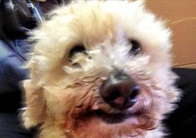 poodle hit by car stuck in grille on MA highway