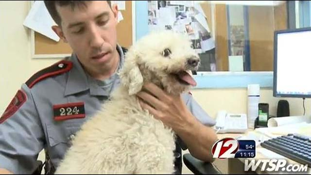 poodle struck by Toyota Sedan and stuck in grille of it