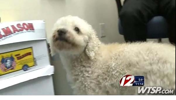 poodle survives car accident after being stuck in car grille for 11 mile trip