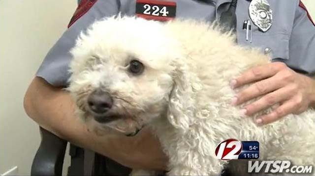 poodle struck by car and stuck in driver's grille for 11 mile trip