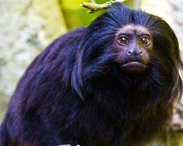 Endangered species to be cloned in Brazil