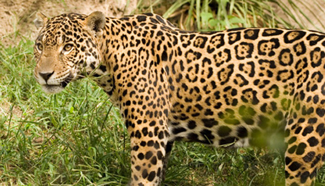 EMBRAPA Plans to Clone Endangered Species