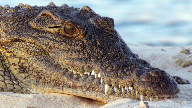 Nile Crocodile Escapes from South African farm