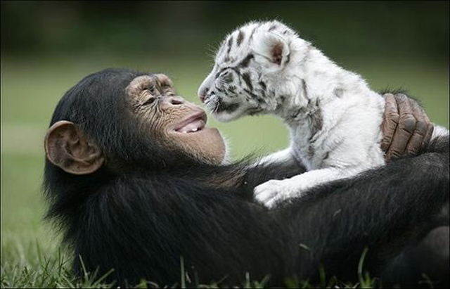 Chimp fosters white tiger