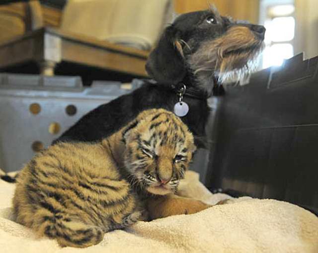 Dachsund adopts tiger