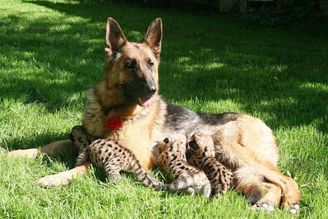 German Shepherd adopts cougar cubs