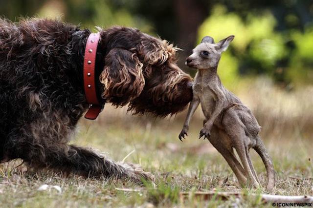 Dog rescues baby kangaroo