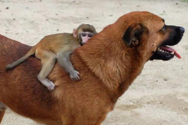 Dog helps monkey