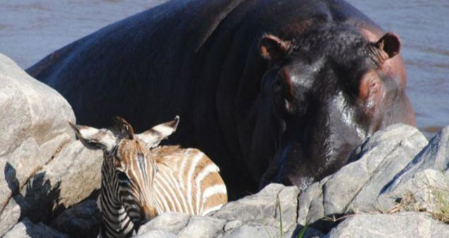 Hippo rescues zebras