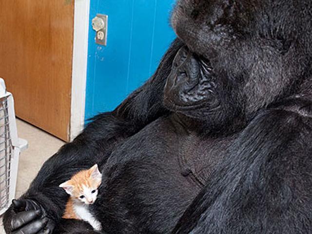 Gorilla adopts kitten