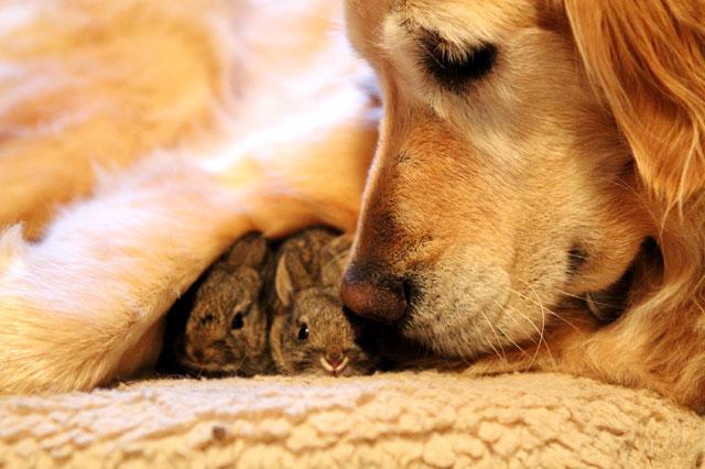 Labrador cares for abandoned rabbits