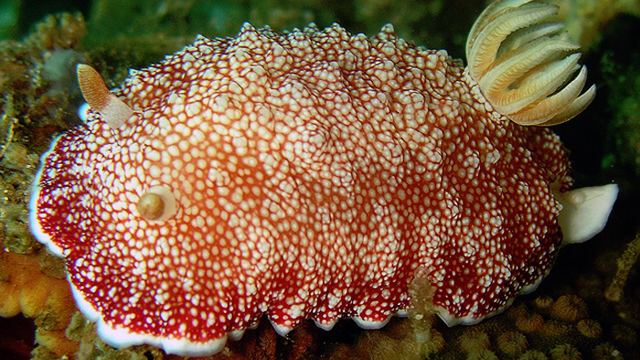 The red and white sea slug is a hermaphrodite with a disposable penis