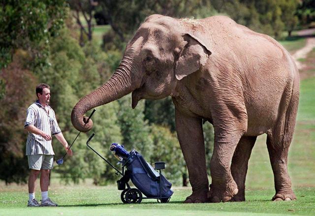 Golfing Elephant