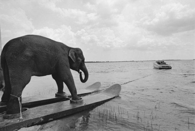 Waterskiing Elephant