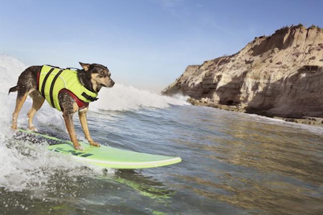 abbie-g-longest-wave-surfed-by-a-dog-5