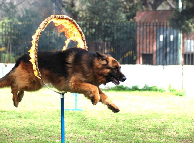 Advanced-Dog-Tricks
