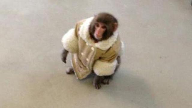 IKEA monkey owner, IKEA monkey's owner, IKEA monkey book, IKEA monkey meme, IKEA monkey Darwin, Toronto IKEA, Toronto IKEA monkey, Darwin IKEA monkey, Toronto, Ontario, Canada, Yasmin Nakhuda, Yasmin Nakhuda lawyer, Yasmin Nakhuda monkey, Yasmin Nakhuda Darwin, Yasmin Nakhuda book, Japanese macaque, Darwin monkey, Manchurian Madurai, Mississauga Manchurian Madurai, Darwin fundraiser, IKEA monkey fundraiser, Story Book Farm primate sanctuary, story book farm, IKEA monkey owner lawsuit, IKEA monkey owner sues, Darling Darwin Monkey Friends and Co., Darwin book, IKEA monkey custody battle, custody battle IKEA monkey,