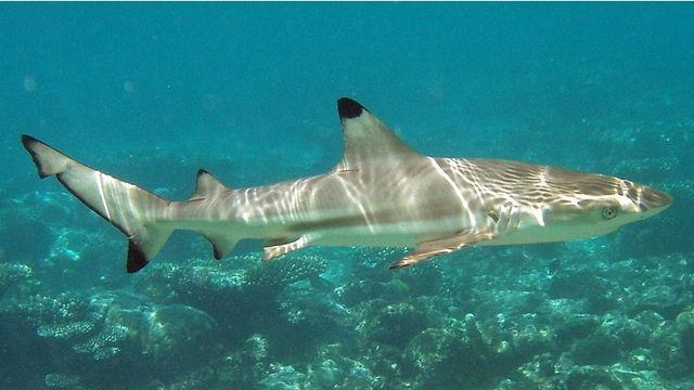 Shark Helps Police, Sharks, Spinner Sharks