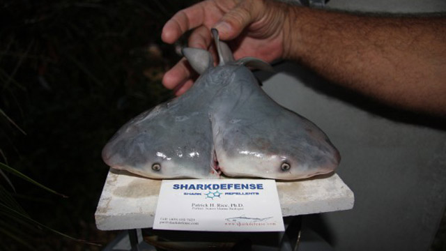 A two headed shark was found by a fisherman off the coast of the Florida Keys