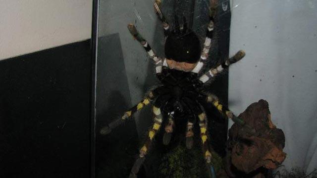 new-tarantula