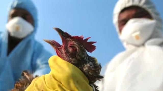 Bird flu hits Canada, H5N1, avian flu in Canada, bird flu north america
