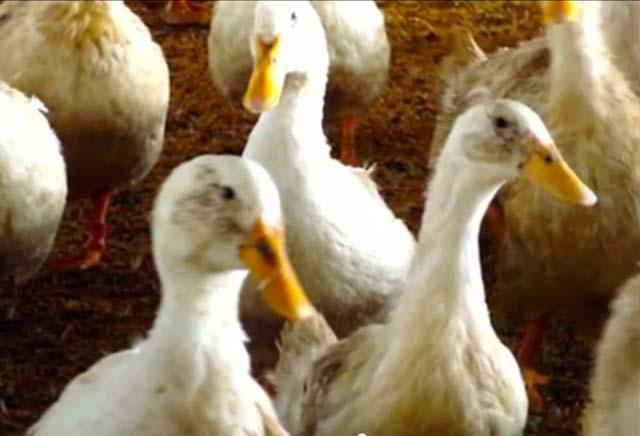 avian flu in canada, bird flu in canada