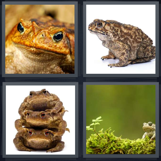 4 Pics 1 Word Answer 4 letters for orange frog on brown background, poisonous frog on white background, three frogs, moss in forest