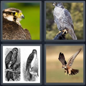 4 Pics 1 Word Answer 6 letters for bird with yellow beak, bird on perch with black and white feathers, sketch of bird in black and white, bird flying with wings open