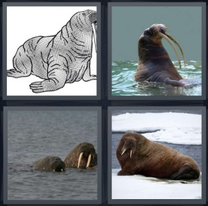 4 Pics 1 Word Answer 6 letters for drawing sketch of large marine mammal, tusks coming out of water, mammals swimming with tusks, mammal resting on ice