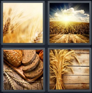 4 Pics 1 Word Answer 5 letters for yellow plant field, sun rising over field with clouds, bread with seeds on crust, grains on wood background