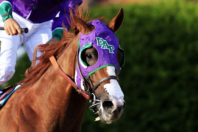 California Chrome dons his nasal strip during the 139th running of the Preakness Stakes 2014. (Getty)