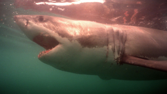 sharks, shark week, shark week schedule, discovery channel, great white shark, shark week discovery channel, discovery channel app, discovery, shark week app, shark tracker, shark games