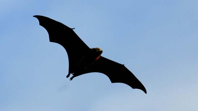 fruit bat, ebola