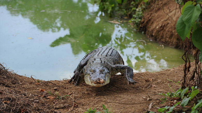 Poison Beer Kills 70  drinking beer poisoned with crocodile bile in Mozambique Pombe