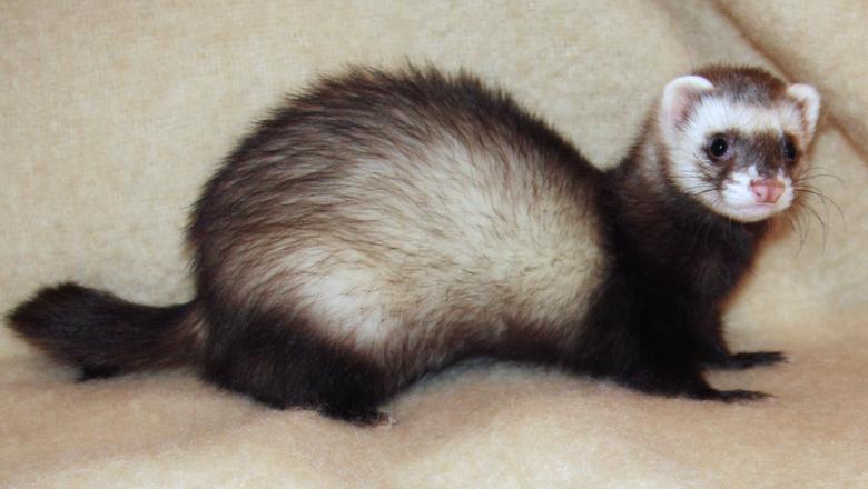 Ferret attack baby upper darby pennsylvania