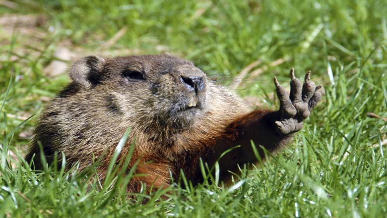 groundhog day, history, origins, establishment