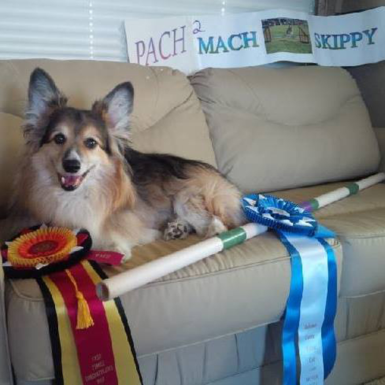 Oscar, an 8-year-old Swedish valhund was treated at the clinic in 2013. He won Best Breed at the 2015 Westminster Dog Show. (Facebook)