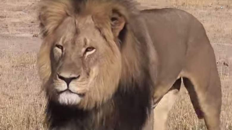 Cecil the Lion was killed in Zimbabawe (YouTube)