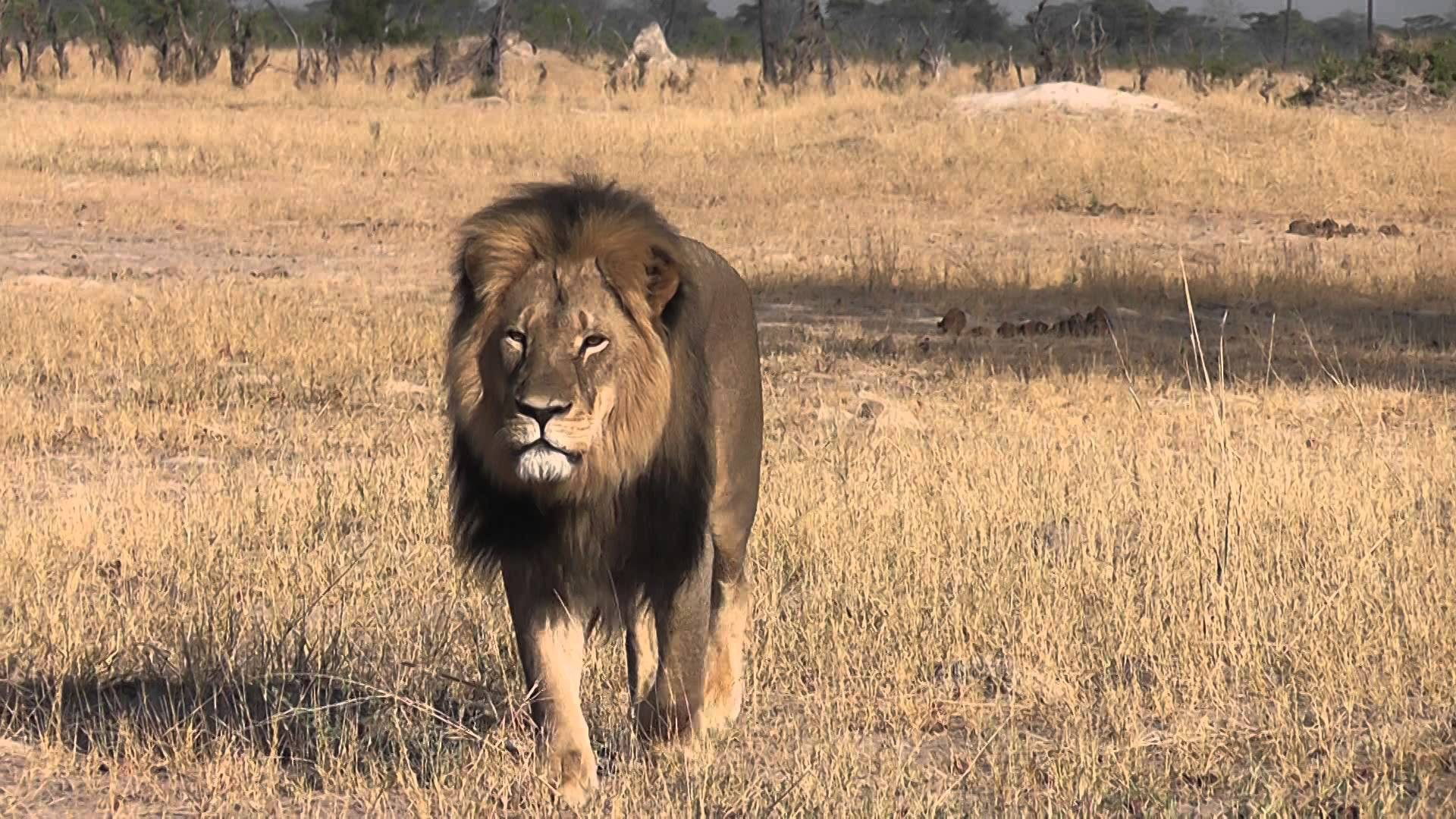 Cecil the lion, walter palmer