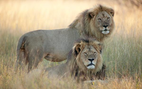 Jericho the lion, cecil the lion brother killed, jericho dead, jericho the lion dead, cecil the lion brother shot dead