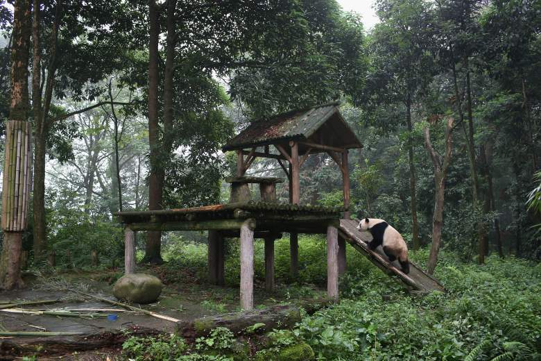 Pandas umami, pandas eat meat
