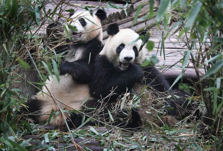 pandas bamboo, pandas can't digest bamboo