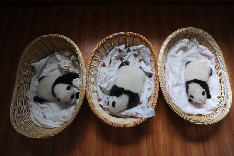 pregnant panda, baby pandas